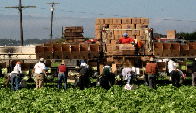 picking lettuce in Salinas CA